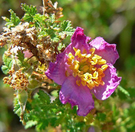 Rosa minutifolia