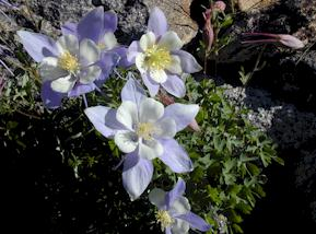 Alpine Columbines are perennials that typically bloom in mid-spring to early summer.