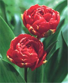 Tulip Miranda